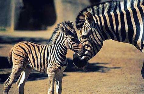 Zebra Reproduction - Facts about the Birth of Zebras