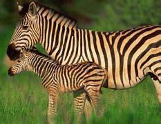 Zebras and Parents on Pinterest
