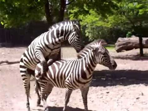 Zebras Courting - YouTube