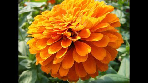 Zempasuchil, flor del muerto como medicina   YouTube