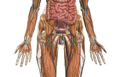 Zygote. Anatomía del cuerpo humano 3D | CMNSC | Pinterest ...